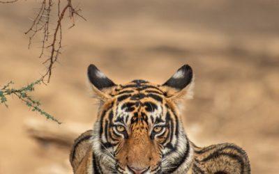 Joga jest jak tygrys …